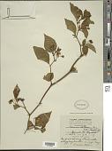 view Solanum stellatum Jacq. digital asset number 1