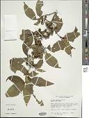 view Solanum consimile C.V. Morton digital asset number 1