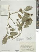 view Solanum oblongifolium Duval digital asset number 1