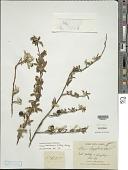 view Solanum heinianum D'Arcy & Keating digital asset number 1