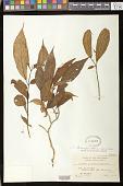 view Cyrtandra tenuipes Merr. digital asset number 1