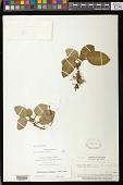 view Episcia lilacina Hanst. digital asset number 1