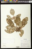 view Episcia fimbriata Fritsch digital asset number 1