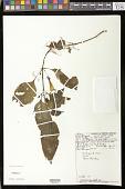 view Nautilocalyx mimuloides (Benth.) C.V. Morton digital asset number 1