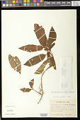 view Nautilocalyx pictus (Hook.) Sprague digital asset number 1