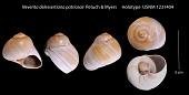 view Neverita delessertiana patriceae Petuch & Myers, 2014 digital asset number 1