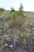 view Bidens micrantha subsp. ctenophylla digital asset number 1
