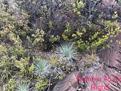 view Argyroxiphium kauense (Rock & Neal) O. Deg. & I. Deg. digital asset number 1