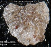 view Pavopsammia flabellum Seiglie & Baker, 1984 digital asset number 1
