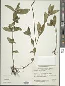 view Hygrophila pubescens Nees digital asset number 1