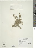 view Nelsonia canescens (Lam.) Spreng. digital asset number 1
