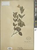 view Ruellia humilis var. expansa Fernald digital asset number 1