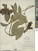view Thunbergia laurifolia Lindl. digital asset number 1