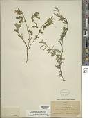 view Dyschoriste schiedeana Kuntze digital asset number 1