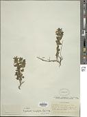 view Dyschoriste microphylla (Cav.) Kuntze digital asset number 1