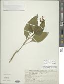 view Ruellia acutangula Nees digital asset number 1