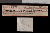 view Chaetodipus arenarius ambiguus digital asset number 1