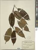 view Thomandersia laurifolia (T. Anderson ex Benth.) Baill. digital asset number 1