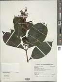 view Graptophyllum pictum (L.) Griff. digital asset number 1
