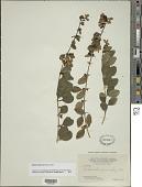 view Oplonia spinosa Raf. digital asset number 1