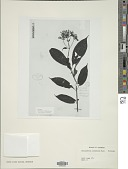 view Stenandrium corymbosum Nees digital asset number 1