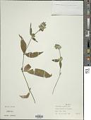 view Dicliptera ciliaris J. Juss. digital asset number 1