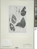 view Streblacanthus cordatus Lindau digital asset number 1