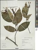 view Odontonema cuspidatum (Nees) Kuntze digital asset number 1