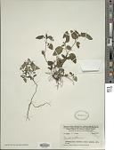 view Pseuderanthemum sp. digital asset number 1