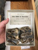 view Mammut americanum (Kerr) digital asset number 1