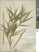 view Pleioblastus simonii (Carrière) Nakai digital asset number 1