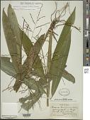 view Pharus lappulaceus subsp. pubescens digital asset number 1