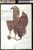 view Drymonia affinis (Mansf.) Wiehler digital asset number 1