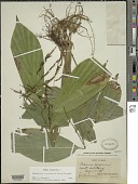 view Pharus latifolius L. digital asset number 1