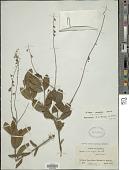 view Eriope crassipes Benth. digital asset number 1