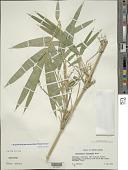 view Arundinaria intermedia Munro digital asset number 1