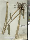 view Parodiolyra micrantha (Kunth) Davidse & Zuloaga digital asset number 1