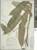 view Scrotochloa urceolata (Roxb.) Judz. digital asset number 1