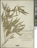 view Phyllostachys nigra (Lodd. ex Lindl.) Munro digital asset number 1