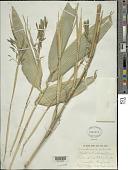 view Sasa palmata (hort. ex Burb.) E.G. Camus digital asset number 1