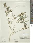 view Phyllostachys heteroclada Oliv. digital asset number 1