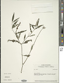 view Justicia polygonoides Kunth digital asset number 1