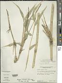 view Chusquea vulcanalis (Soderstr. & C. E. Calderón) L.G. Clark digital asset number 1
