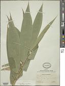 view Oreobambos buchwaldii K. Schum. digital asset number 1