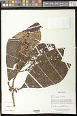 view Drymonia macrophylla (Oerst.) H.E. Moore digital asset number 1