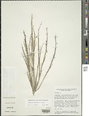 view Chusquea subulata L.G. Clark digital asset number 1