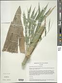 view Rhipidocladum harmonicum (Parodi) McClure digital asset number 1