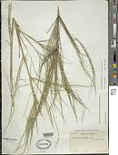 view Otatea acuminata (Munro) C. E. Calderón & Soderstr. digital asset number 1