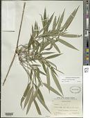 view Chusquea oligophylla Rupr. digital asset number 1