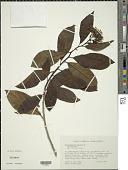 view Tournefortia bicolor Sw. digital asset number 1